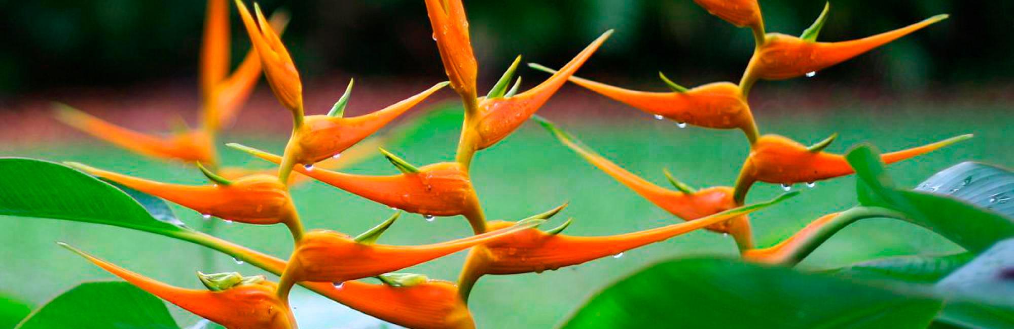 heliconia del putumayo